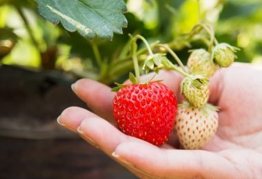 Can You Plant Strawberries in the fall?
