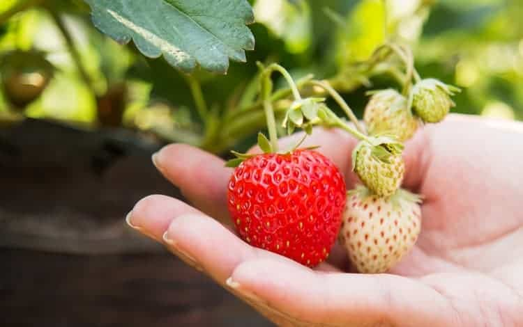 Can You Plant Strawberries in the fall