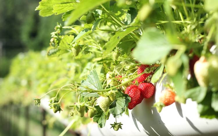 can you grow strawberries in the fall