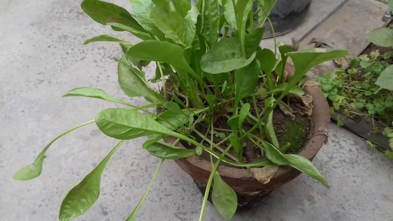 how to grow spinach in container