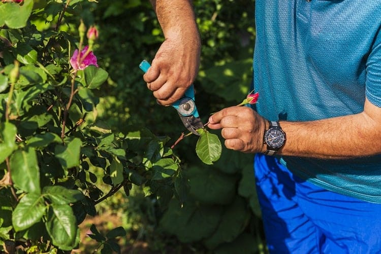 Best Pruners for Arthritic Hands