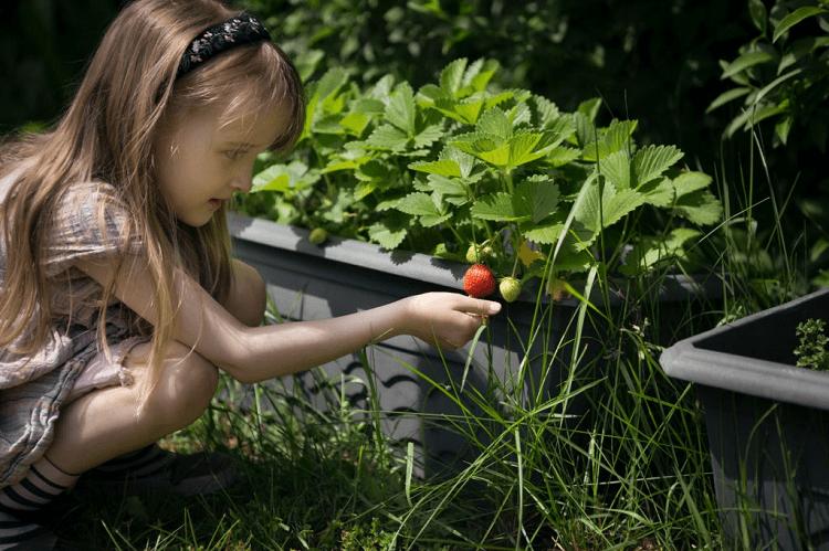 strawberry harvests