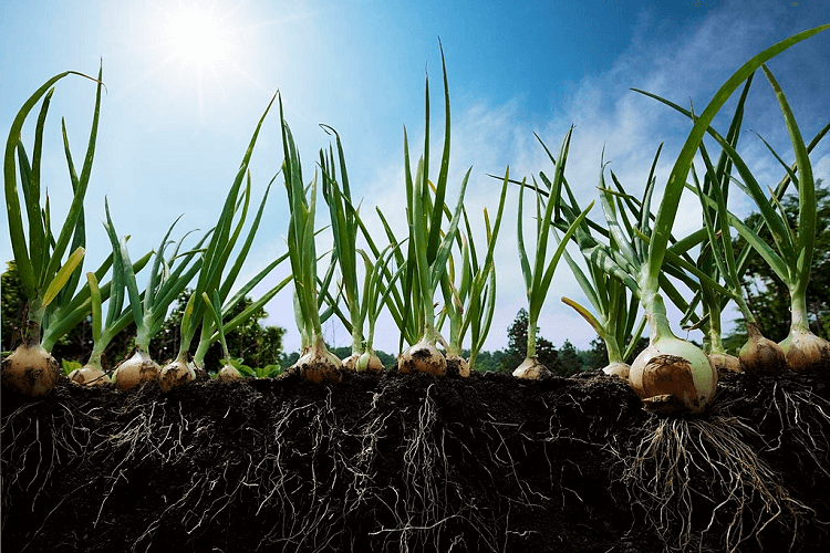 growing onion in alabama