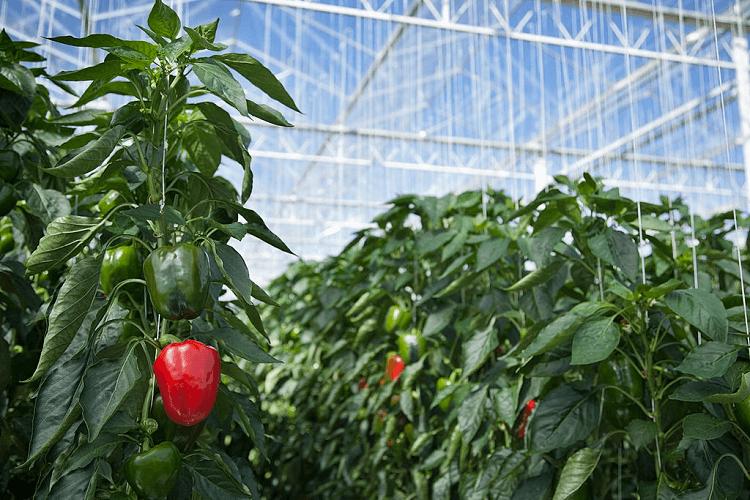growing pepper in alabama