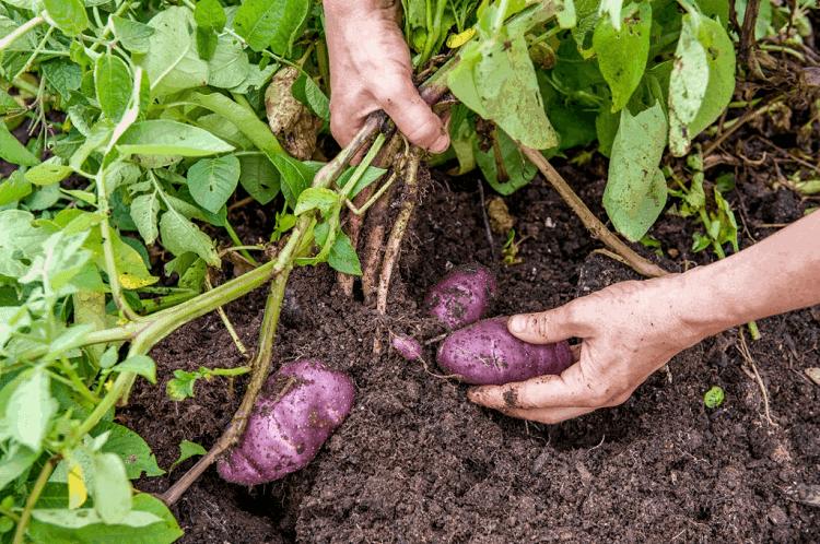 growing potatoes in alabama