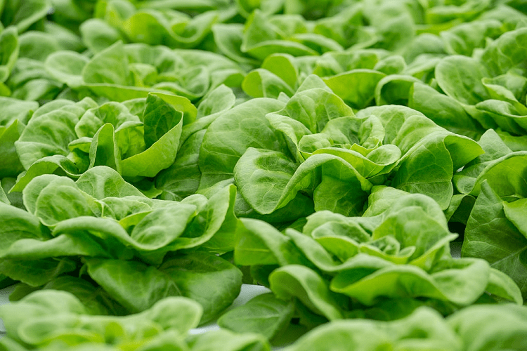 When to Plant Lettuce in Texas