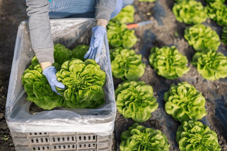 Lettuce plant in india