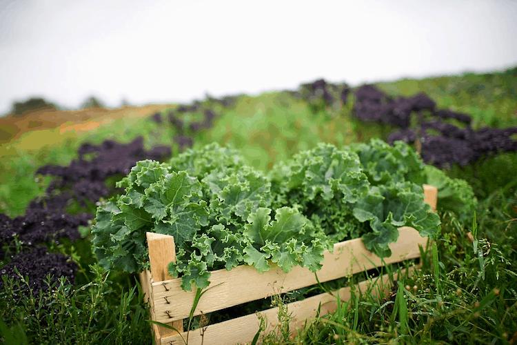 baby kale vegetable in india