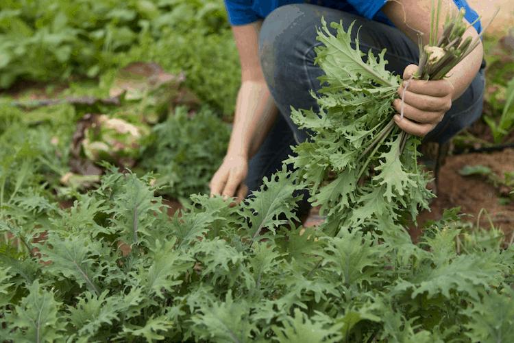 planting arugula vegetable in india