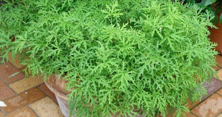what is citronella plant