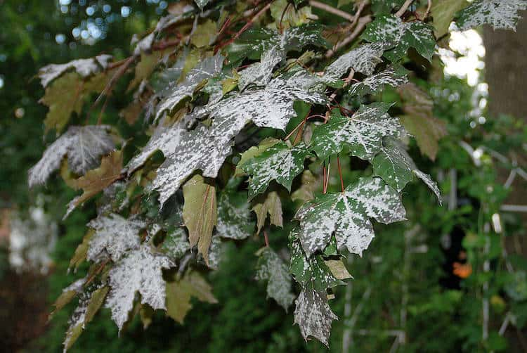 what is powdery mildew