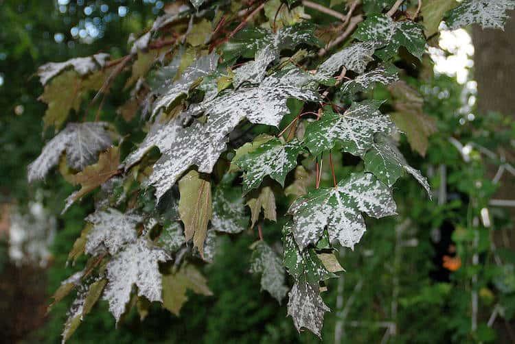 what is powdery mildew