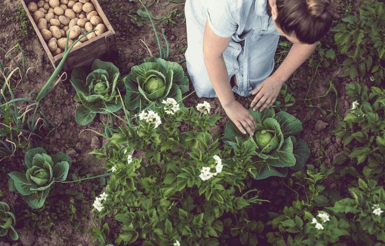 Cabbage plant