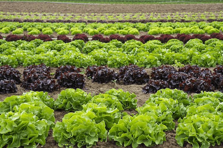 Leaf Lettuce plant