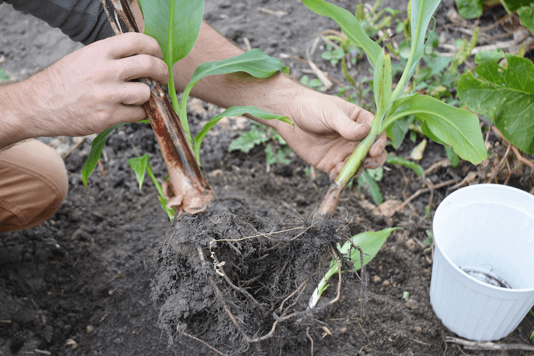 dwarf banana tree care