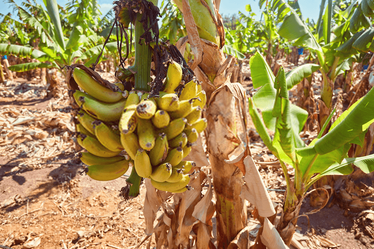 how to care for a dwarf banana tree