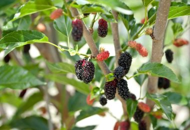How To Grow And Care For Mulberry Tree