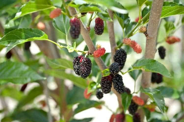 how to grow Mulberry Tree
