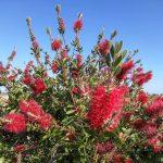 how to grow bottlebrush tree