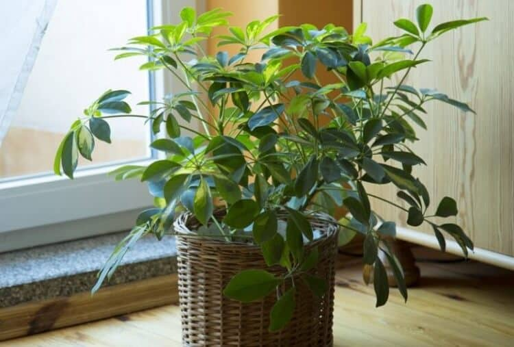 how to grow umbrella plant