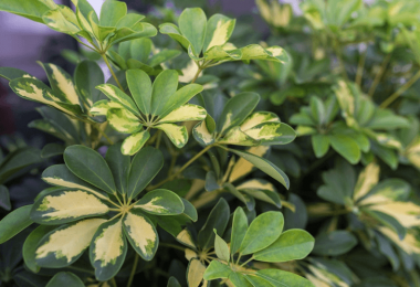 Effective Umbrella Plant Care and Growth Strategies