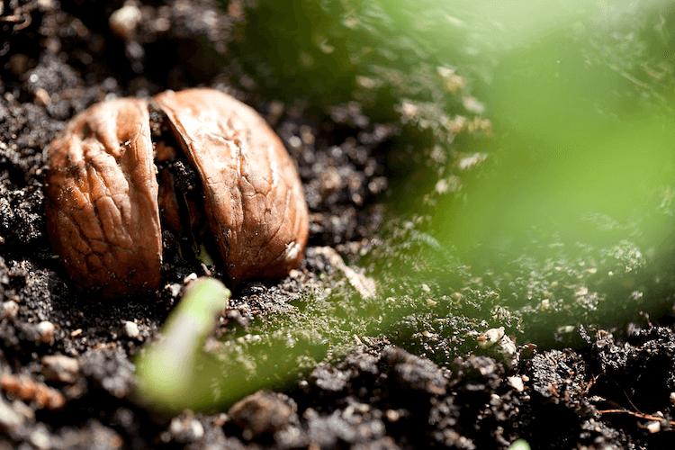 walnut plant