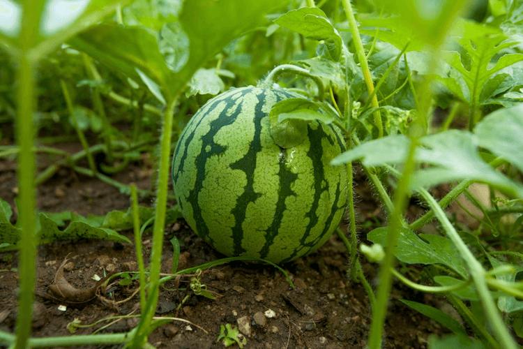 watermelon companion plants