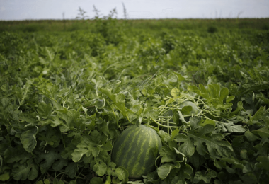 Top 10 Watermelon Companion Plants