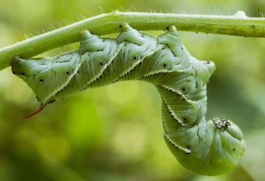 What To Plant With Tomatoes To Keep Bugs Away