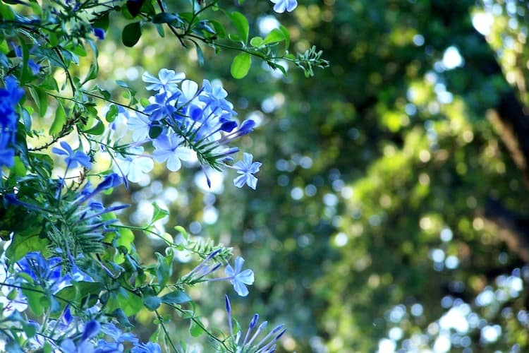 Blue Plumbago Plant care