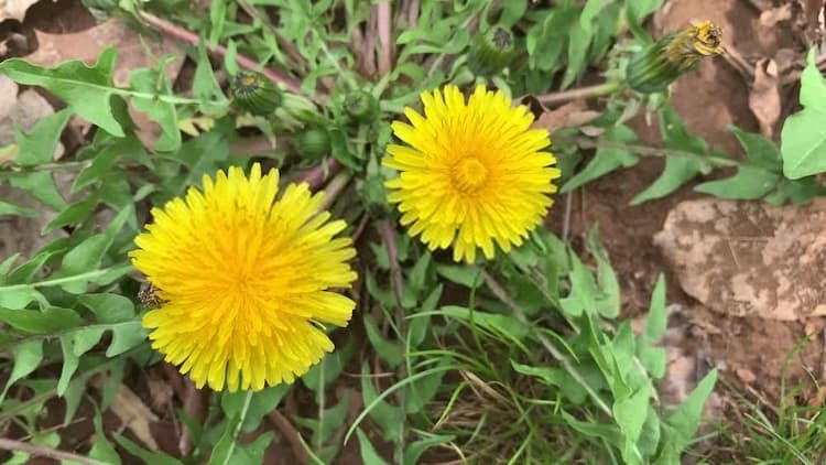 Do Dandelion Killers Work