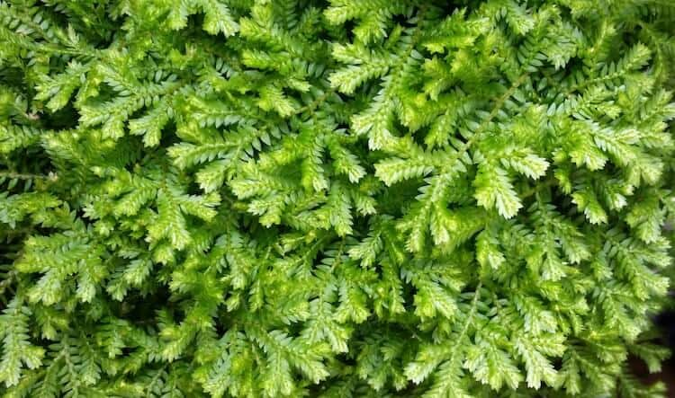 Evergreen Ground Cover Plants