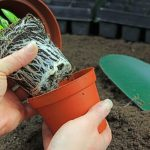 How to Get Root Bound Plants Out Of Pots