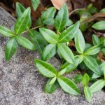 Pachysandra Seeds Care Tips (Effective Solutions)