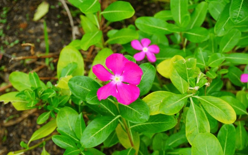 Trailing Periwinkle