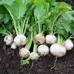 When to Harvest Turnip Greens