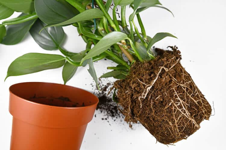 When to Re-pot Root Bound Plants