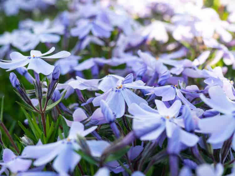 blue star creeper groundcover