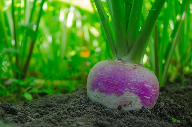 Growing Turnips From Scraps