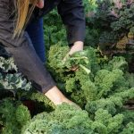 how to harvest kale without killing the plant