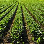 turnip companion plants