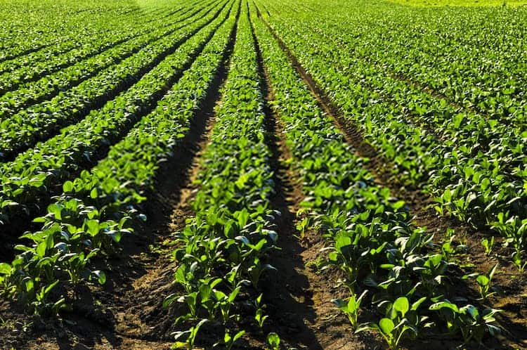 9 Best Turnip Companion Plants of Turnip Companion Plants