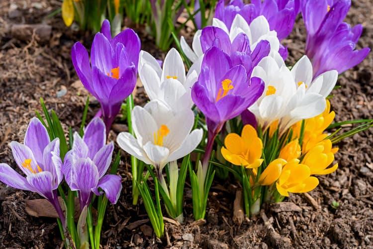 Crocus flowers Crocus