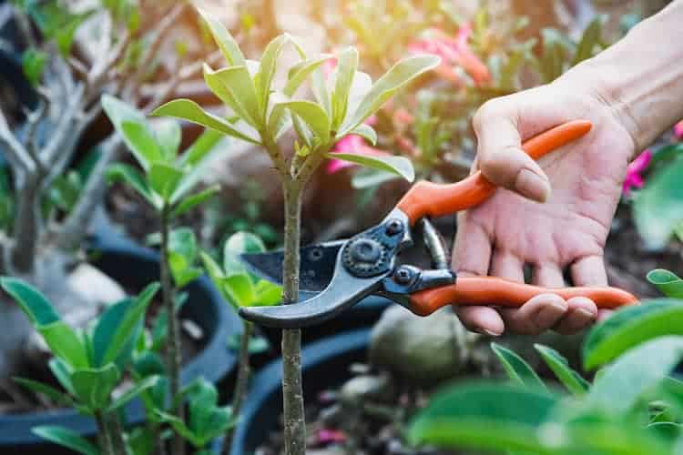 Do Branches Grow Back After Pruning
