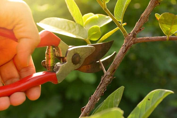 How Does Pruning Promote Growth