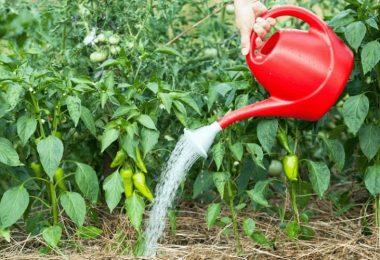 How Often Should You Water Pepper Plants?