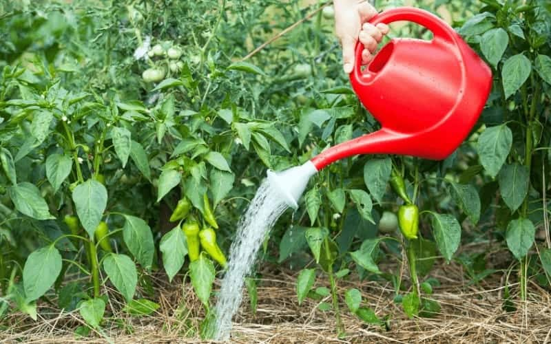 How Often Should You Water Pepper Plants