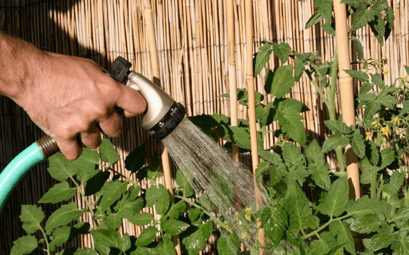How Often Should You Water Your Tomato Plants