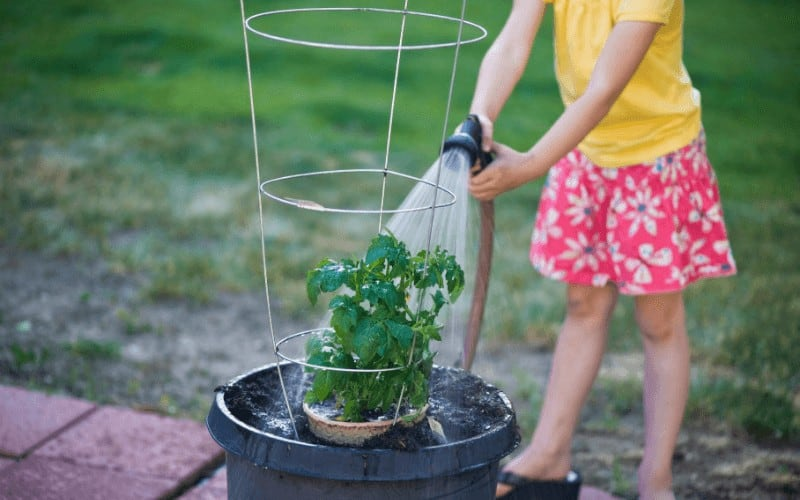 How Often To Water Tomatoes in Pots