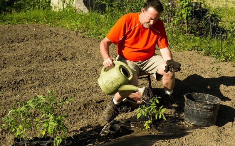 How Often To Water Tomatoes with Drip Irrigation